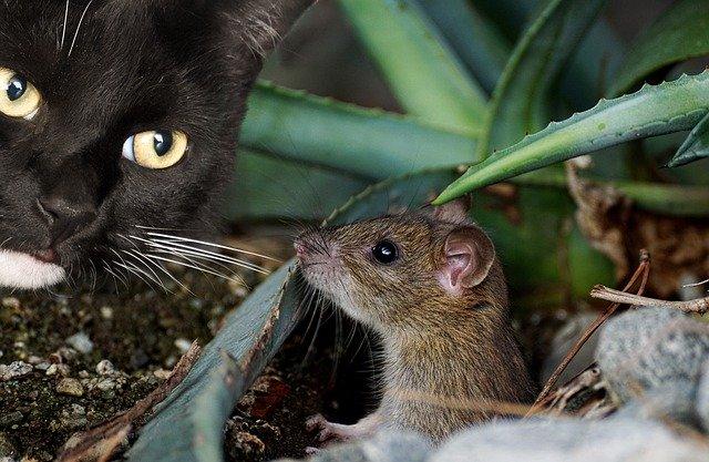 猫に狙われるネズミ
